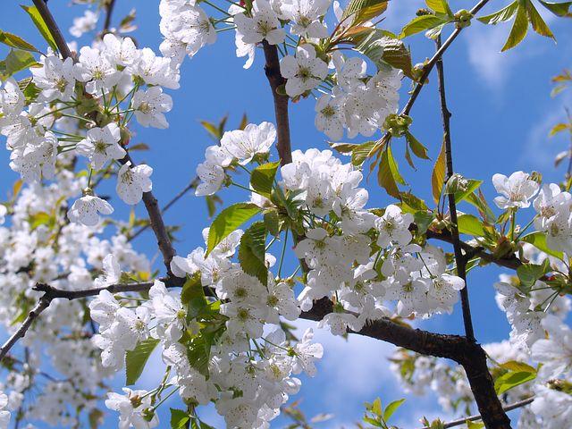 Quelques astuces pour avoir de beaux cerisiers